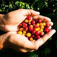 Minimiza Danos aos Grãos de Café